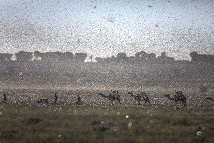 Image of New swarms of locusts threaten to increase hunger in East Africa reeling from floods and coronavirus