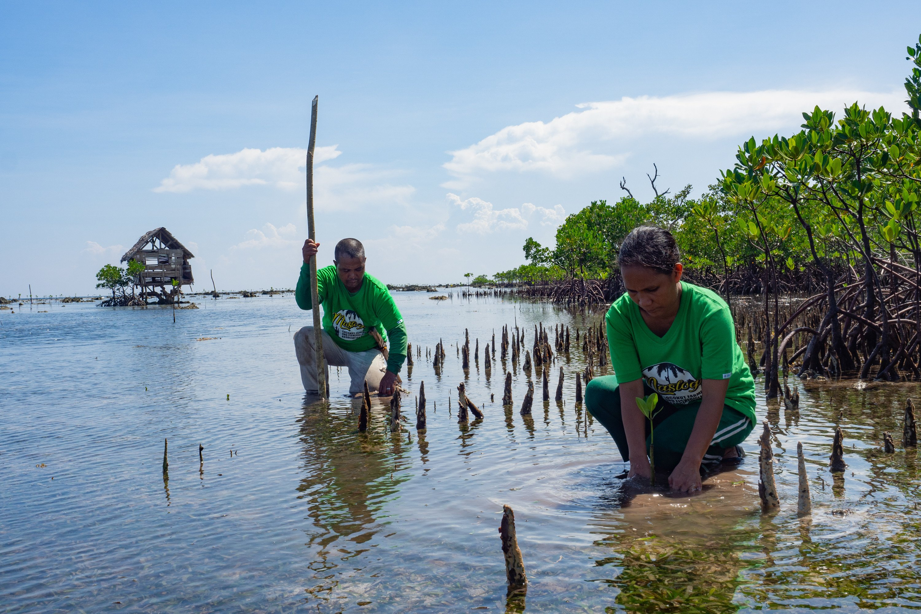 In Vietnam and the Philippines, mangroves are planted as a buffer to storm surges.