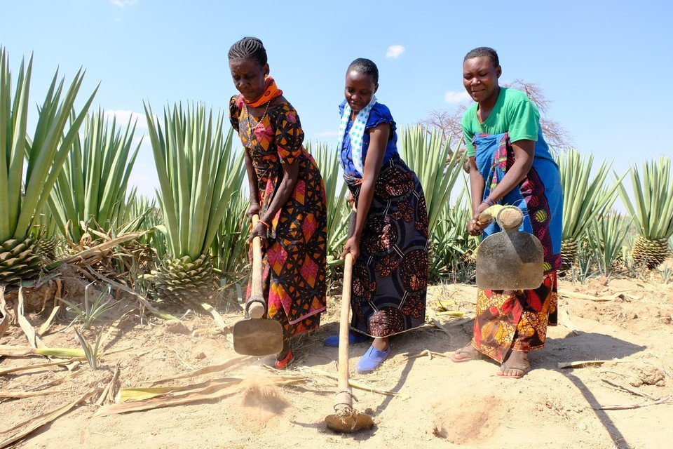Women cultivating the soil in a field of sisal.